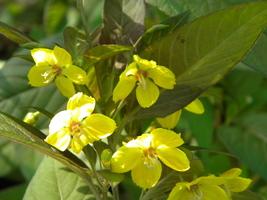 Organic Native Plant, Purple Fringed Loosestrife (Lysimachia ciliata) - $3.75