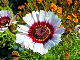 Chrysanthemum Tri-Color Painted Daisy 200 Flower Seeds - $15.98