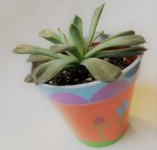 """Echeveria Succulent in Flower Design Pot, Live Plant, 4"""" Colorful Planter image 7"""