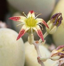"SHIP From US, 4"" pot Graptopetalum pentandrum, flower succulent plant EC - $51.99"
