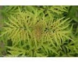 Lemony Lace Elderberry image 1