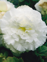 25 Seeds Begonia Tuberosa Double White - $12.98