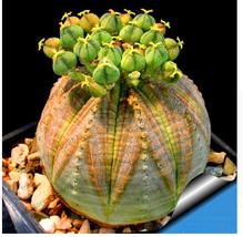 10pcs Euphorbia Obesa Seeds Rare Succulent, Rare Plant For Home & Garden - ₹354.86 INR