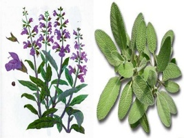 50 Seeds - Salvia officinalis - Common Sage - $3.99