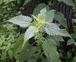 3000 Stinging Nettle Seeds - Urtica Dioica - Medicinal Plant - Deer Resi... - $10.00