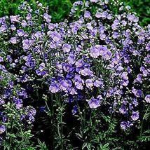 200 Seeds Jacobs Ladder Blue Flower Seeds (Polemonium Caeruleum) TkThesun - $29.70