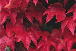 CORKED BURNING BUSH Euonymus alatus EVERGREEN 500 seeds - $82.99