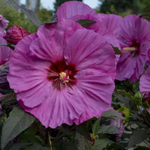 """2.5"""" pot 1 Live Potted Plant bush hibiscus Awesome hardy pink perennial ... - $32.99"""