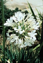 White Lily of The Nile - 5 Live 6 Inch Plants - Agapanthus Africanus Getty White - $113.82