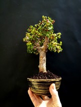 Perfect bonsai - Portulacaria afra - 20 year old plant For professionals - $128.60