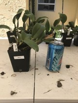 Rlc. Siam White 'The Best' CATTLEYA Orchid Plant Pot BLOOMING SIZE 0504 B image 2