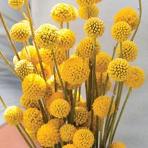 Sun Ball Organic Craspedia Seed/ Sun Ball Craspedia Flower Seeds - $17.00
