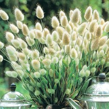 Best Price 100 Seeds Lagurus Ovatus Bunny Hare's Tails Grass,Diy E3540 Dg - $5.99