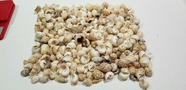 "Lot of 3 POUNDS OF SEA SNAIL SHELLS 1'' to 2"" Clean Crafts FLORIDA CONE D5 - $29.25"