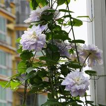 White Green Clematis Seeds Potted Clematis Climbing Flower Seeds 100 Pcs - $5.12