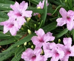 1 Live Plant Rooted - Pink Baby Kate Dwarf Mexican Petunia Ruellia #HWG13 - $28.99