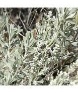 1 Packet of 400 Seeds Big Sagebrush/Asteraceae / Artemisia Tridentata - $17.64