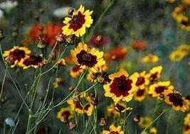 1 Pound Seeds of Plains Coreopsis - $73.16