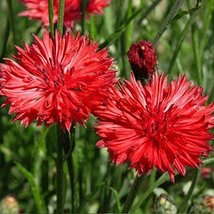 "Non GMO Bulk Cornflower/Bachelor Button Seeds -""Tall Red"" Centaurea cyanus (10 l - $265.32"