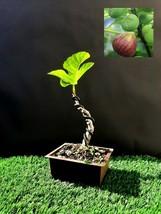 Ficus carica bonsai Fig tree - Exotic fruit tree  - $29.50