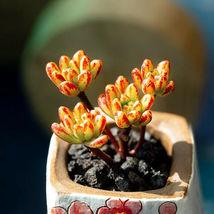 5 Fresh Cuttings Succulent Aeonium Sedifolium Succulent Live Plant  - $19.99