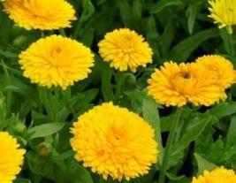 50 Fresh Seeds Calendula Golden Emperor, DIY Decorative Garden Plant SPM02 - $6.99
