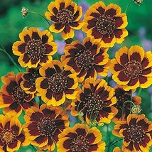 50 seeds Cosmidium Burridgeanum Brunette - $4.94