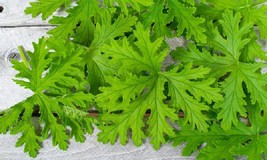 Citronella Mosquito Plant Scented Geranium Live Plant Outdoor Indoor Garden Home - $24.70