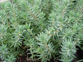 500 Seeds Sedum Autumn joy stonecrop Gold Moss Worm Grass Ice succulent Plant image 3