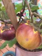 7 South African druken eggplant tree seed-1334 - $2.98
