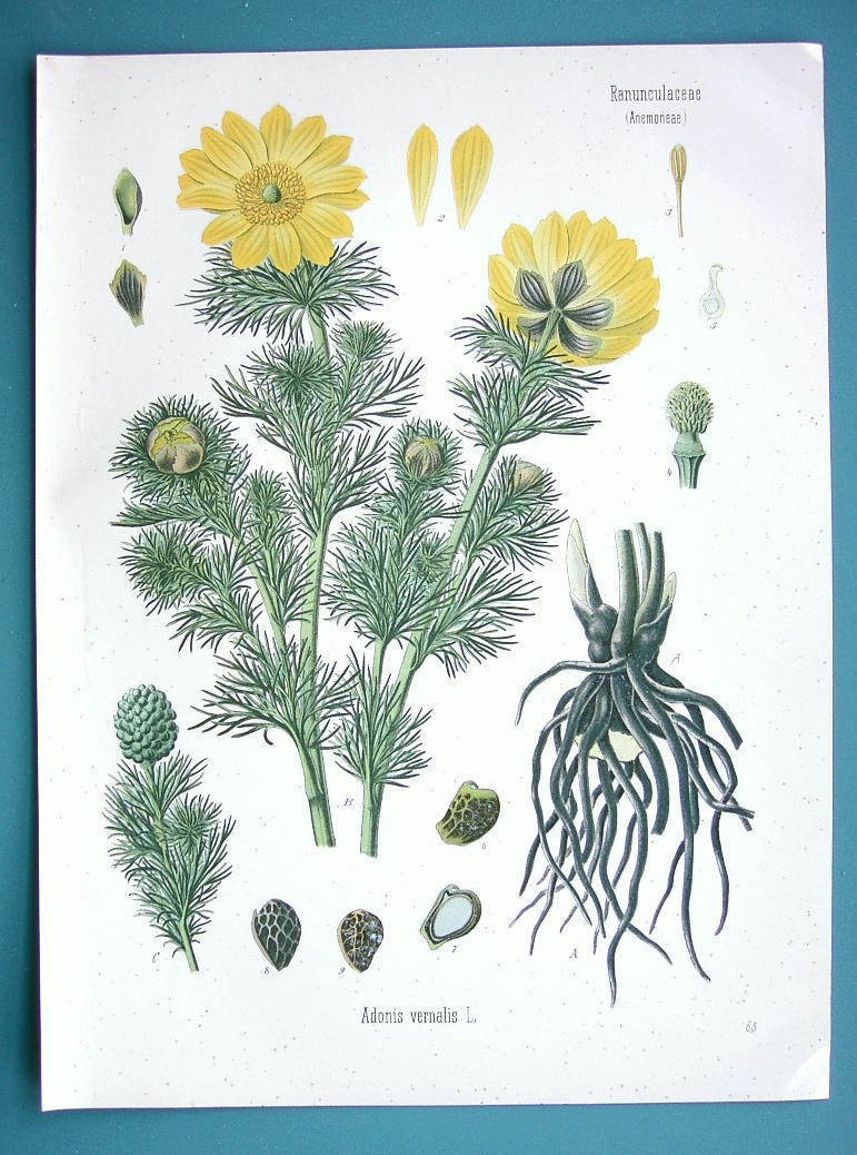 Primary image for YELLOW PHEASANT'S EYE Adonis Vernalis Flower - Beautiful COLOR Botanical Print