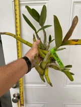 Schomburgkia grandiflora Myrmecophila Species Orchid Plant Blooming 0302j image 2