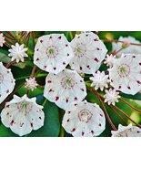 Starter Plant Kalmia Latifolia 'Elf' - Mountain Laurel - $34.65