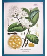 MBUNGO Plant Medicinal Landolphia Comorensis - Beautiful COLOR Botanical... - $26.01