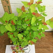 Double Play Candy Corn Spirea image 5