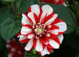 20pcs Very Elegant Red White Dahlia Pinnata Flower Seeds IMA1 - $13.88