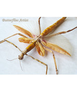 Giant Orange Walking Winged Stick Phasma Eurycnema Versirubra Entomology... - $149.99
