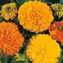 Marigold Cracker Jack mix 100 Flower Seeds - $12.98