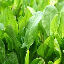 1600 Seeds Large Leaf Sorrel Seeds, NON-GMO, Heirloom - $7.92