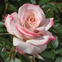 Star Rose Bush Starter Plant - Pinkerbelle - Ships Without Pot - Gardening - $70.00