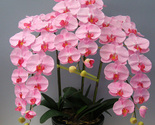 Ink phalaenopsis orchid seeds flower seeds indoor bonsai orchids 100 particles lot thumb155 crop