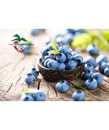 1 TOP HAT MINNESOTA LOWBUSH BLUEBERRY PLANTS, 2 YEAR OLD, 1 QUART SIZED ... - $17.77
