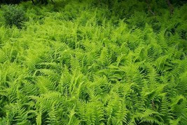 Hay-Scented Fern 100 Bare Root Rhizomes FREE SHIPPING - $266.00