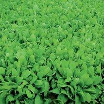 5M Seeds Organic of Renegade Spinach Organic - $34.95