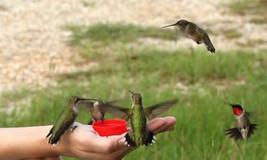 25 Hummingbird Vine Seeds-1089 - $2.98