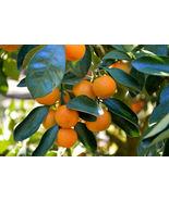 Live Plant Honey Tangerine Tree Citrus Reticulata Murcott Starter Plug G... - $50.00