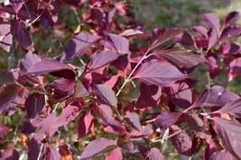Miss Kim Lilac shrub quart pot image 5