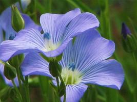 BLUE FLAX SEED, 1000+ SEEDS, ORGANIC, BEAUTIFUL STRIKING BLUE FLAX FLOWERS - $10.99