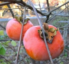 1 Giant Fuyu Persimmon Fruit Tree 8-12 Inch Fruit Trees Plant For Fall Sale p1 - $47.99