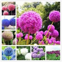 100 Pcs Giant Onion Seed Allium Giganteum Allium Flower Beautiful Flower... - $4.85
